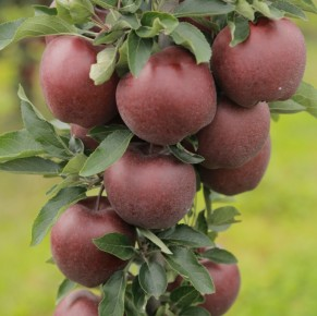 Red Cap® Valtod - Red Delicious